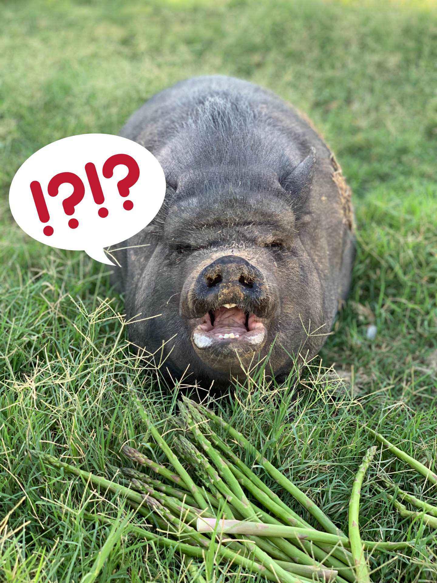 Schwein mit Beleidigung