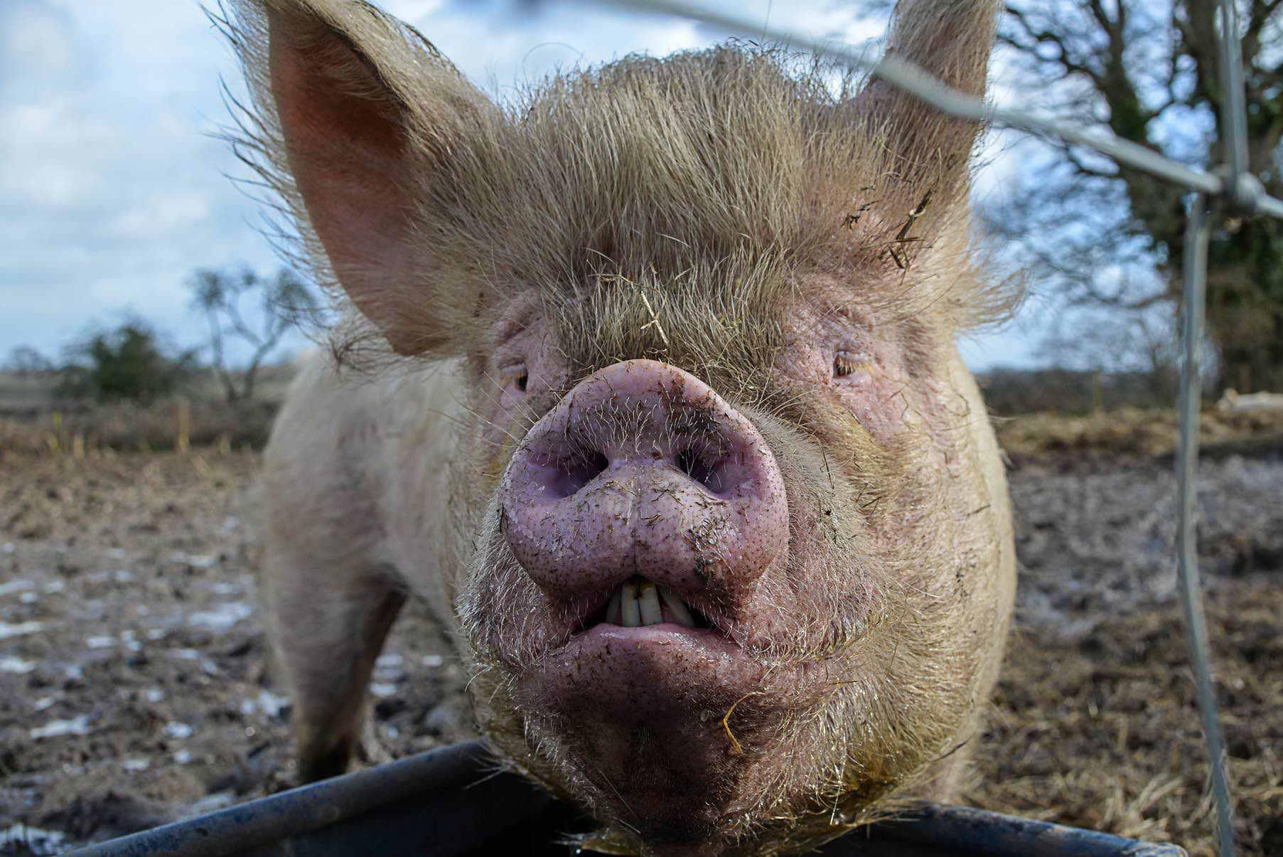 Sau Schwein Beleidigung